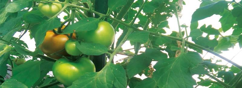Erfolgreiche Tomantenernte
